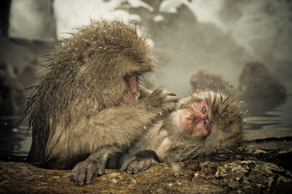 Snow monkeys who love to bask in the thermal pools 08
