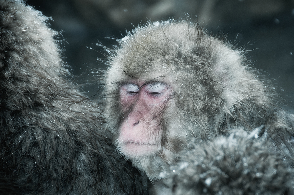 Snow monkeys who love to bask in the thermal pools 10