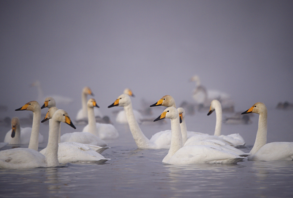 Swan Lake 03