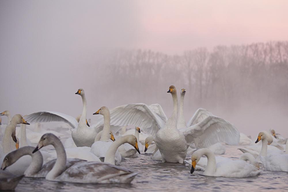Swan Lake 05