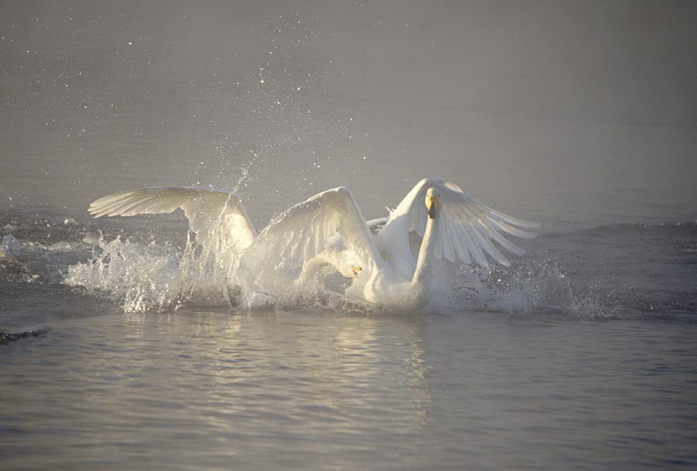 Swan Lake 10