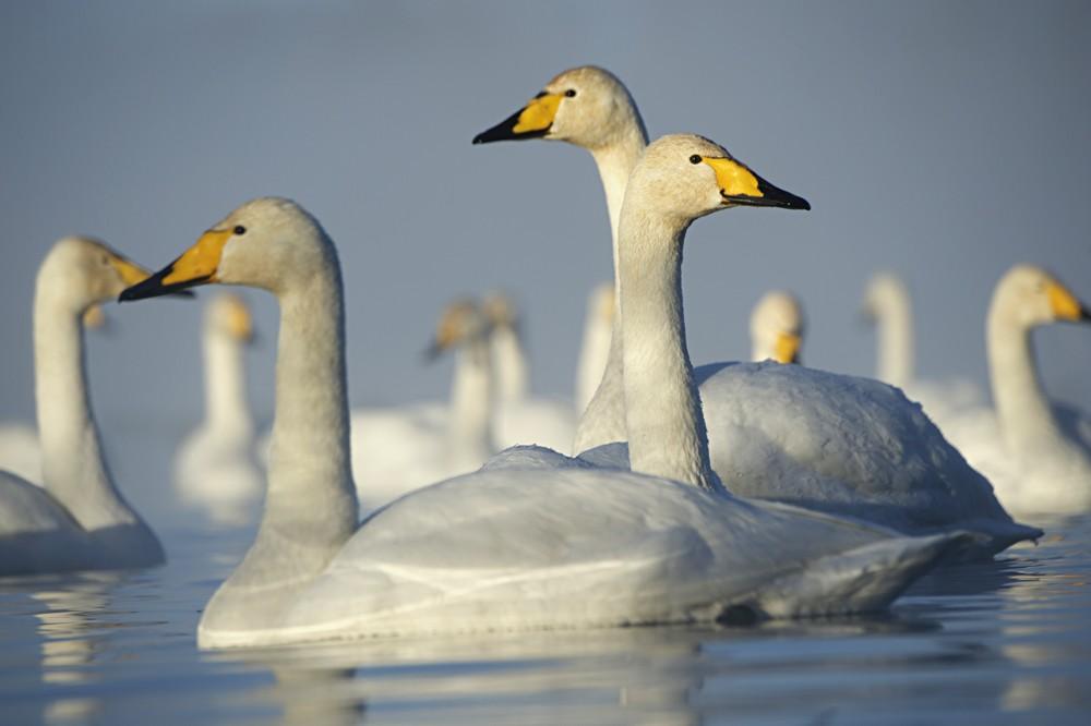 Swan Lake 11