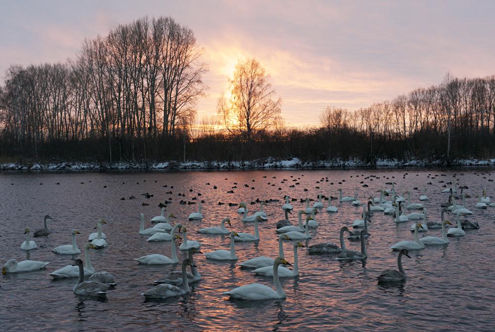 Swan Lake 12