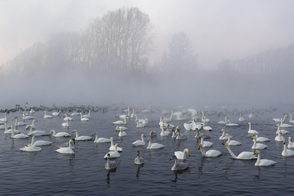 Swan Lake 14