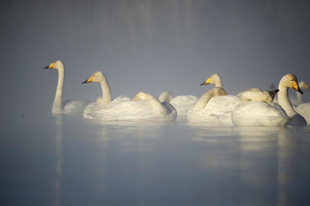 Swan Lake 17
