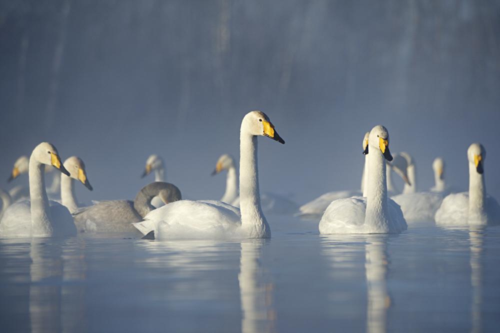 Swan Lake 20