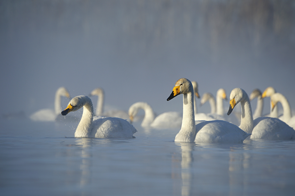 Swan Lake 22