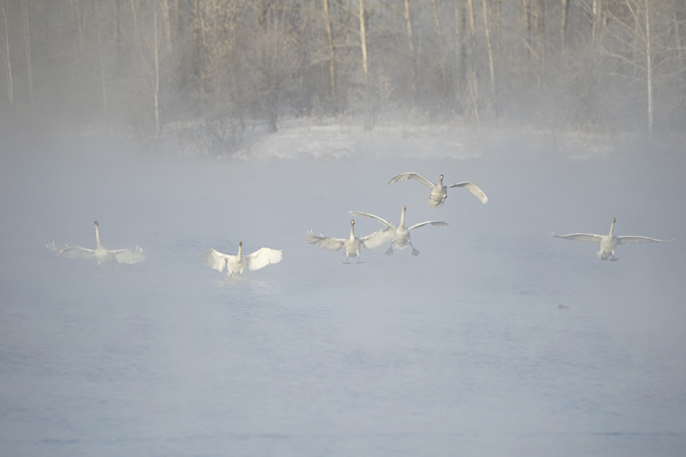 Swan Lake 24