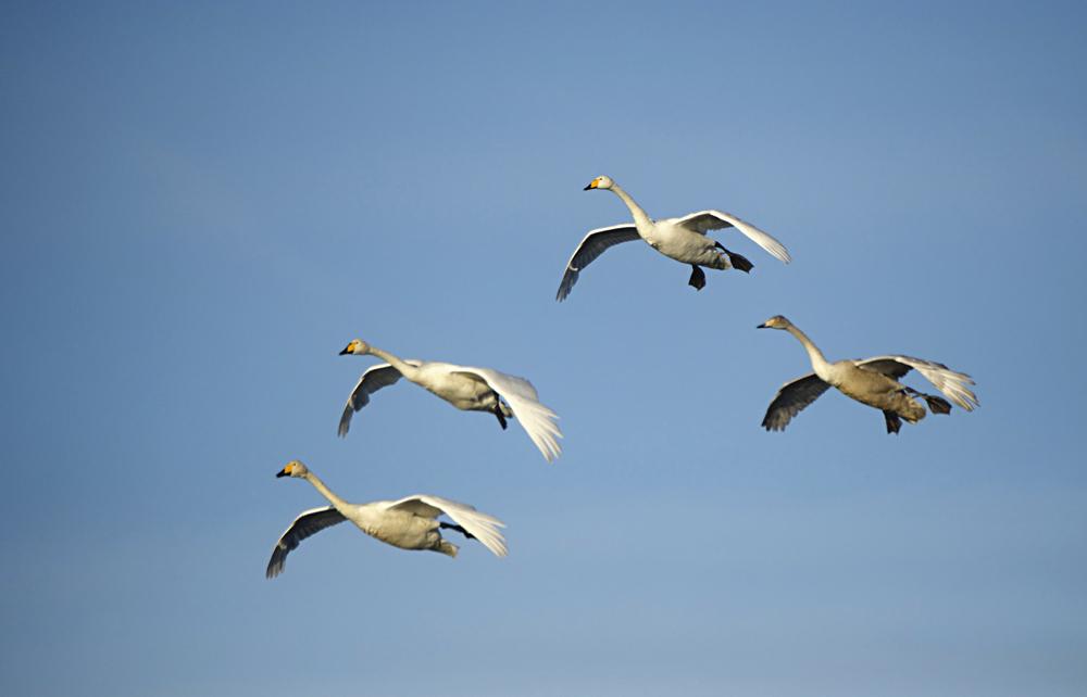Swan Lake 25