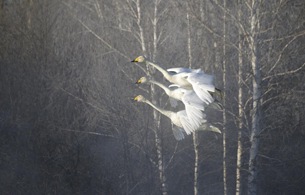 Swan Lake 26
