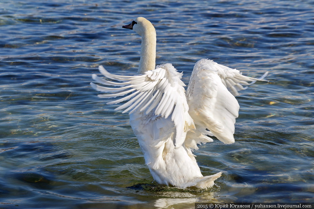 They arrived! Swans in Sevastopol! 06