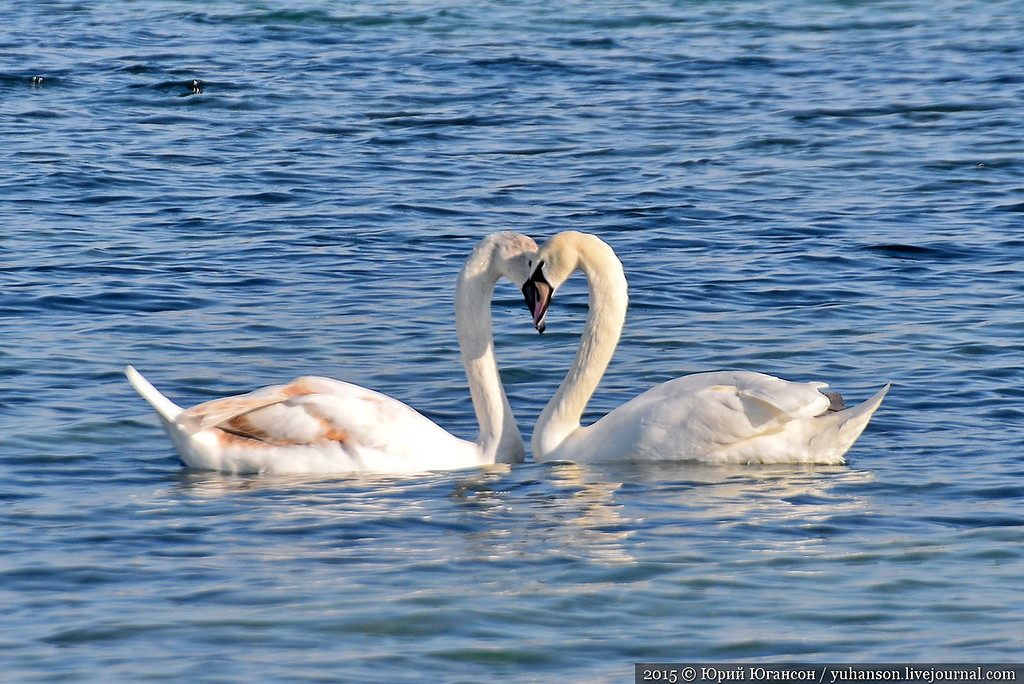 They arrived! Swans in Sevastopol! 11