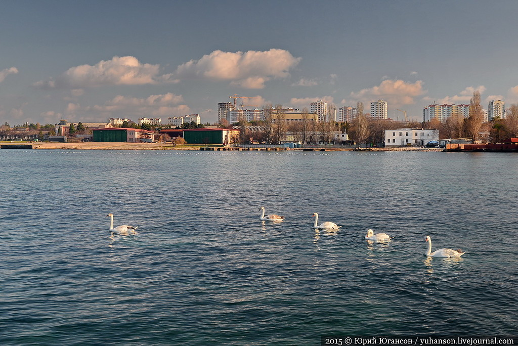 They arrived! Swans in Sevastopol! 12