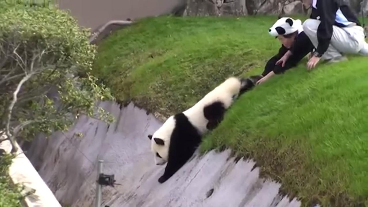 Забавный побег панды от сотрудников зоопарка