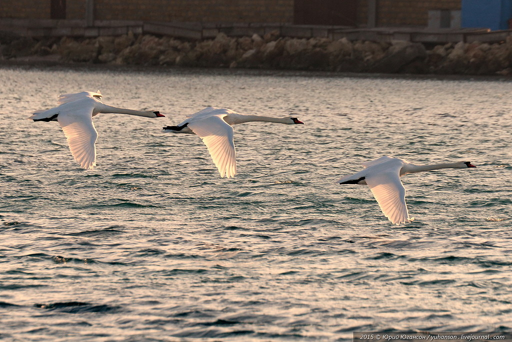 swans 02