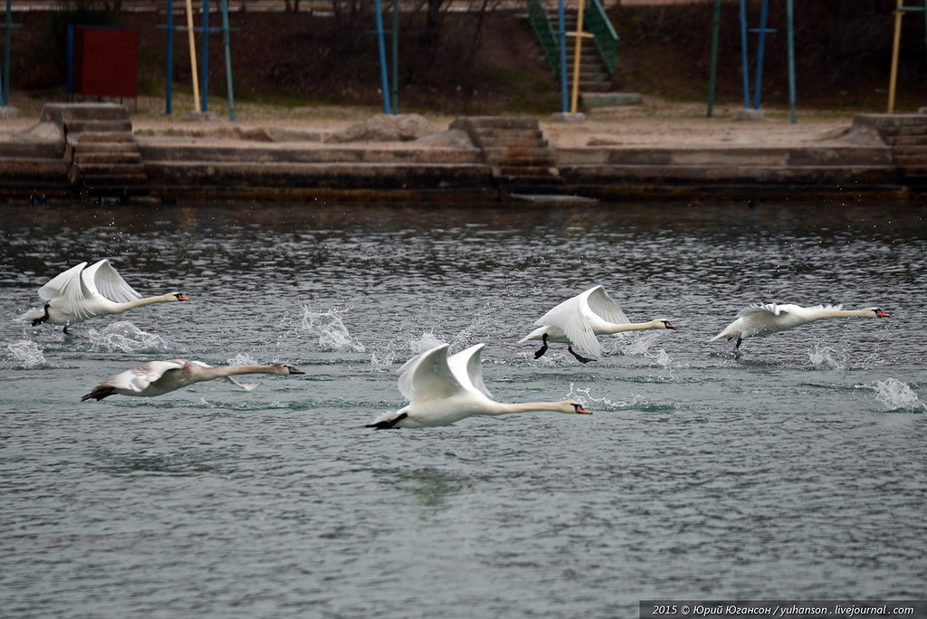 swans 05