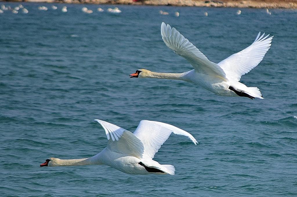 swans 06