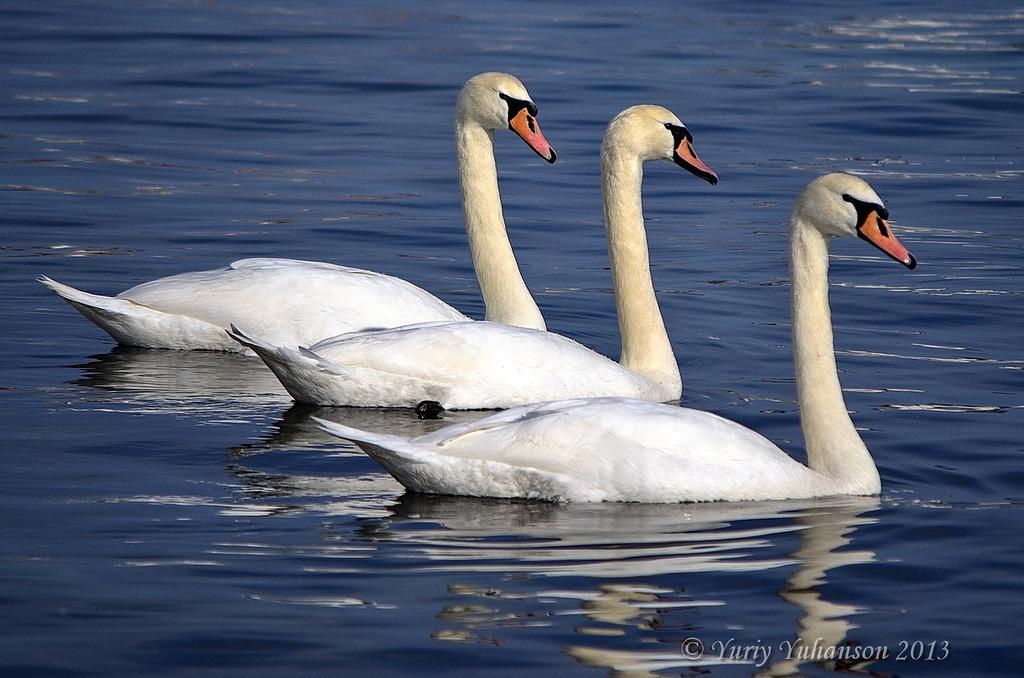 swans 07