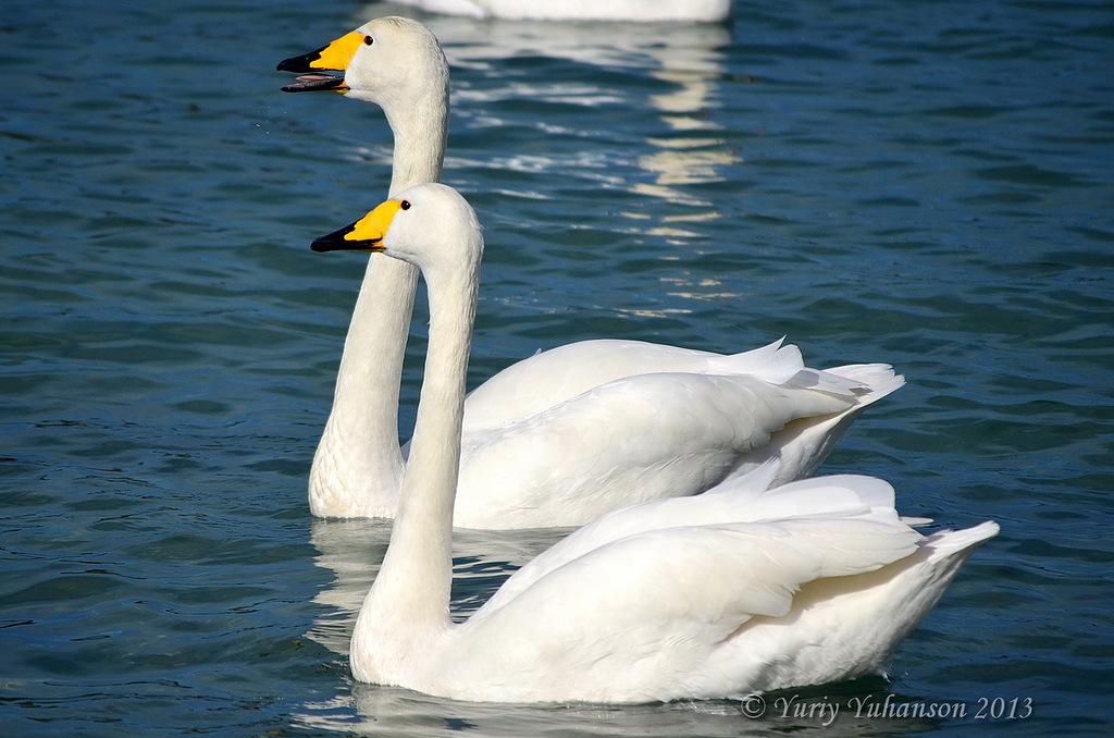 swans 08