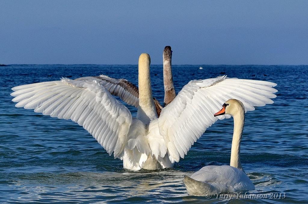 swans 09