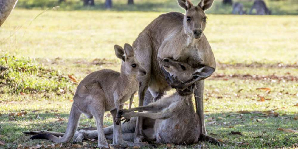 A heartbreaking scene with a family of kangaroos 01