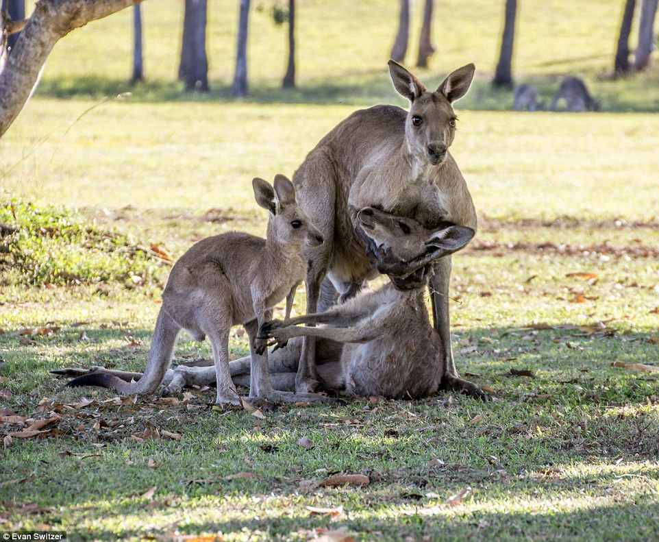 A heartbreaking scene with a family of kangaroos 02