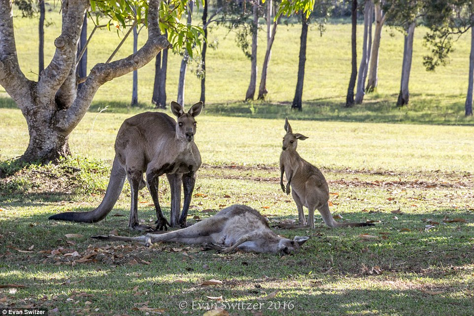 A heartbreaking scene with a family of kangaroos 03