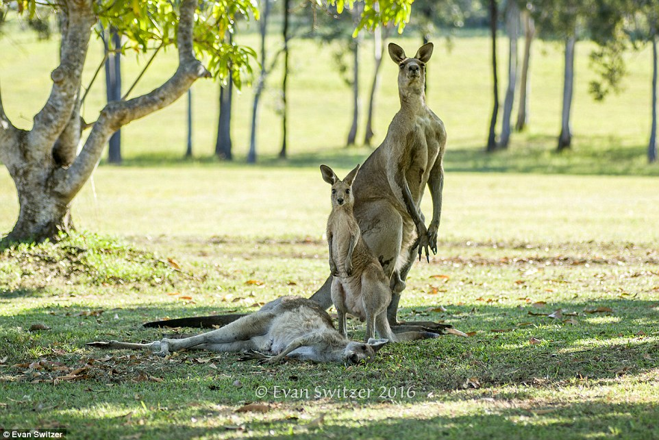 A heartbreaking scene with a family of kangaroos 05