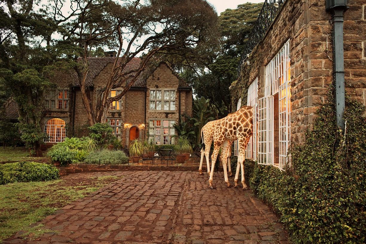 Breakfast with giraffes 05