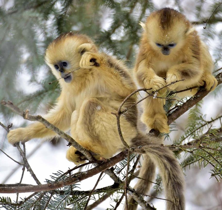 Fun games Golden monkeys. The joy of snow 01