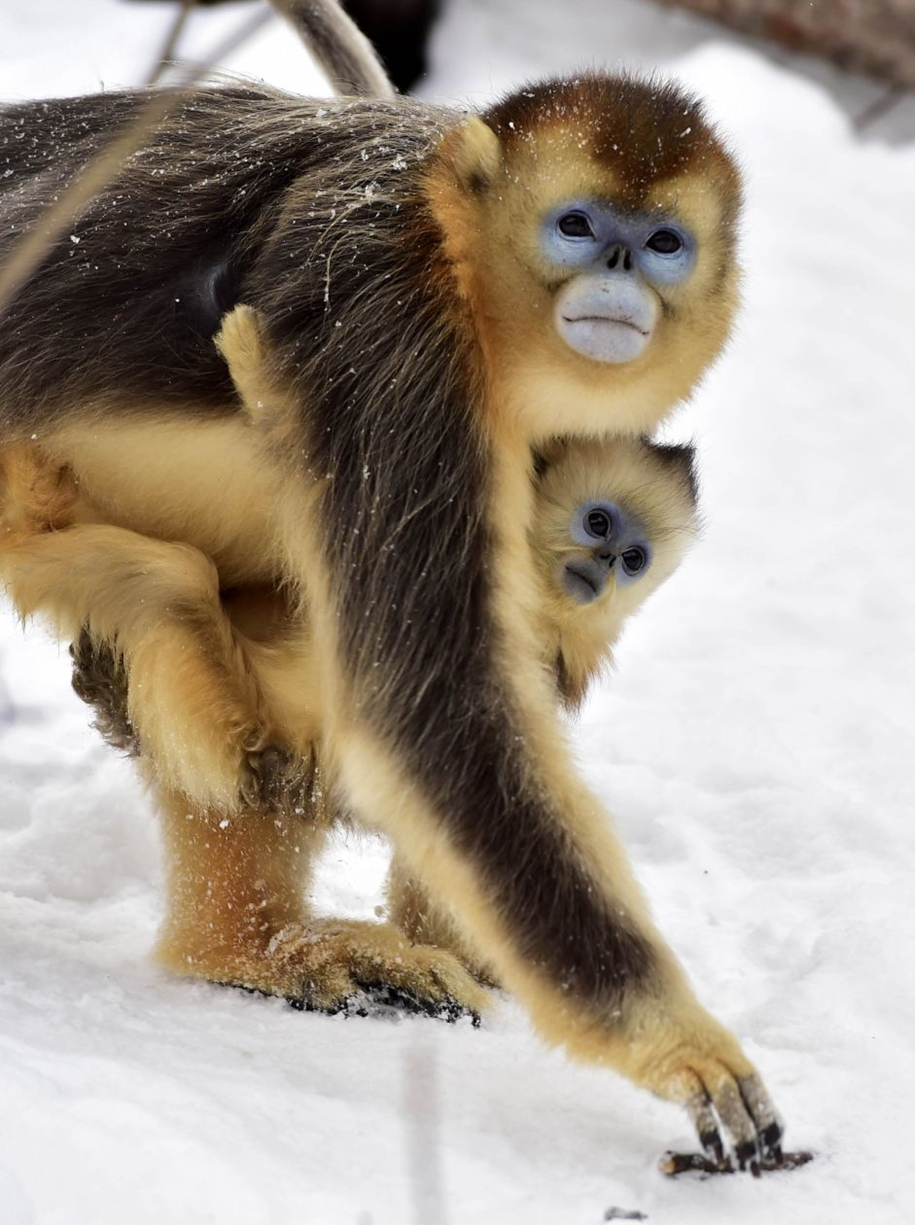 Fun games Golden monkeys. The joy of snow 02
