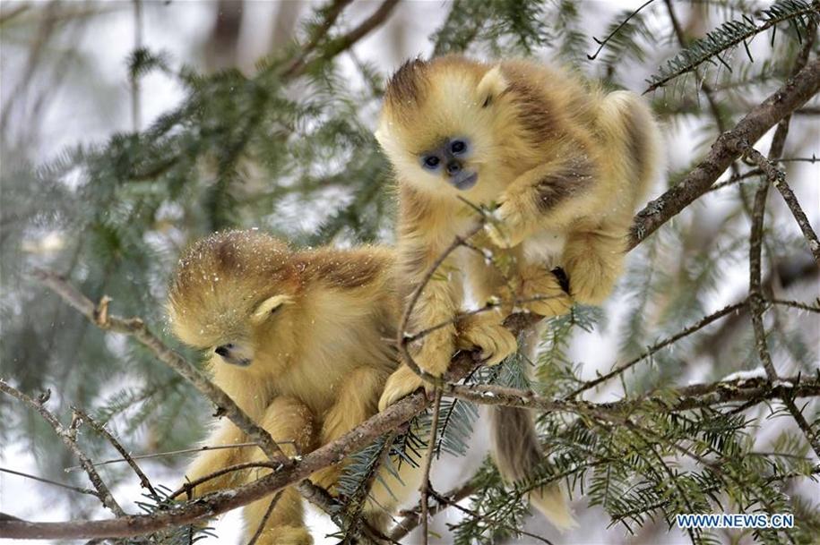 Fun games Golden monkeys. The joy of snow 06