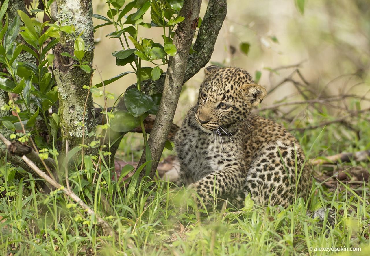 Леопардик Поли — мимилейшее создание