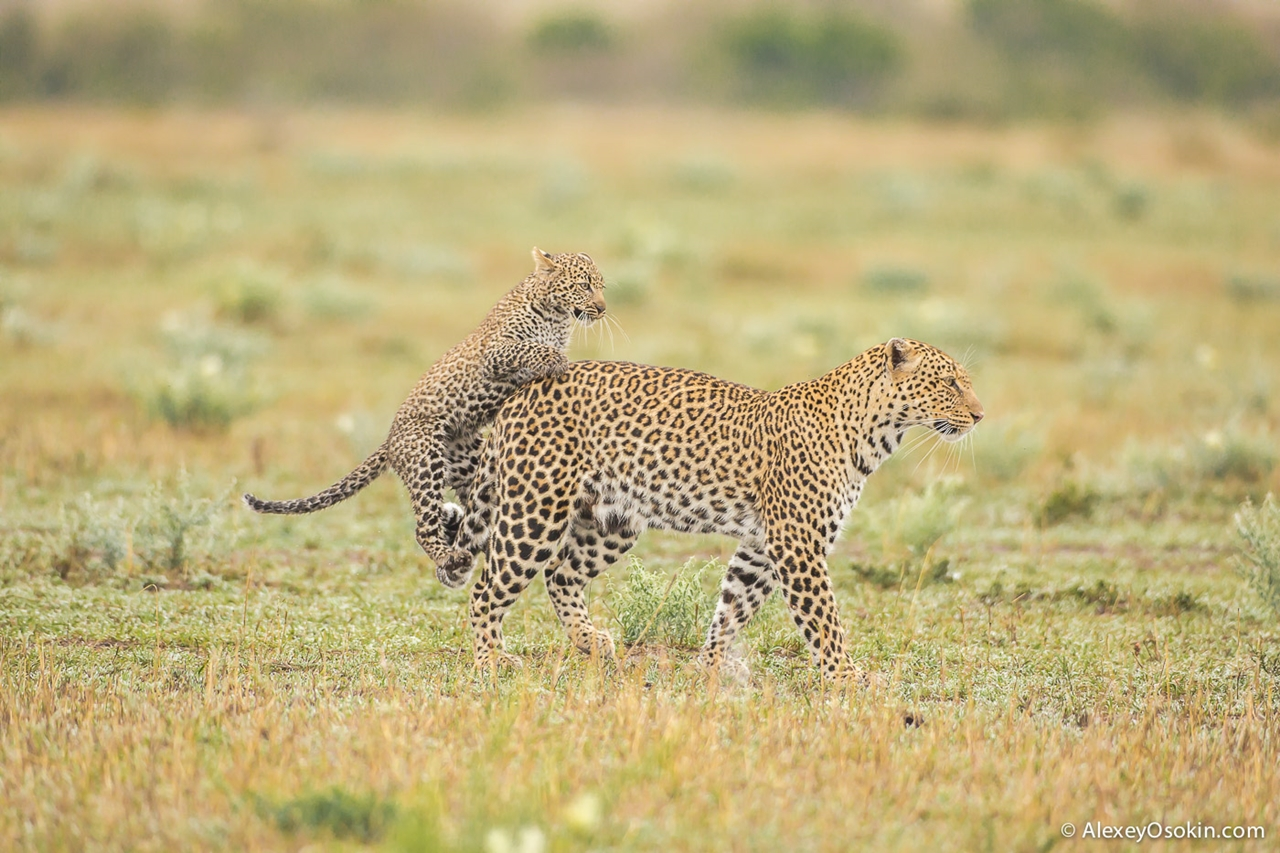 Leopard Poly 07