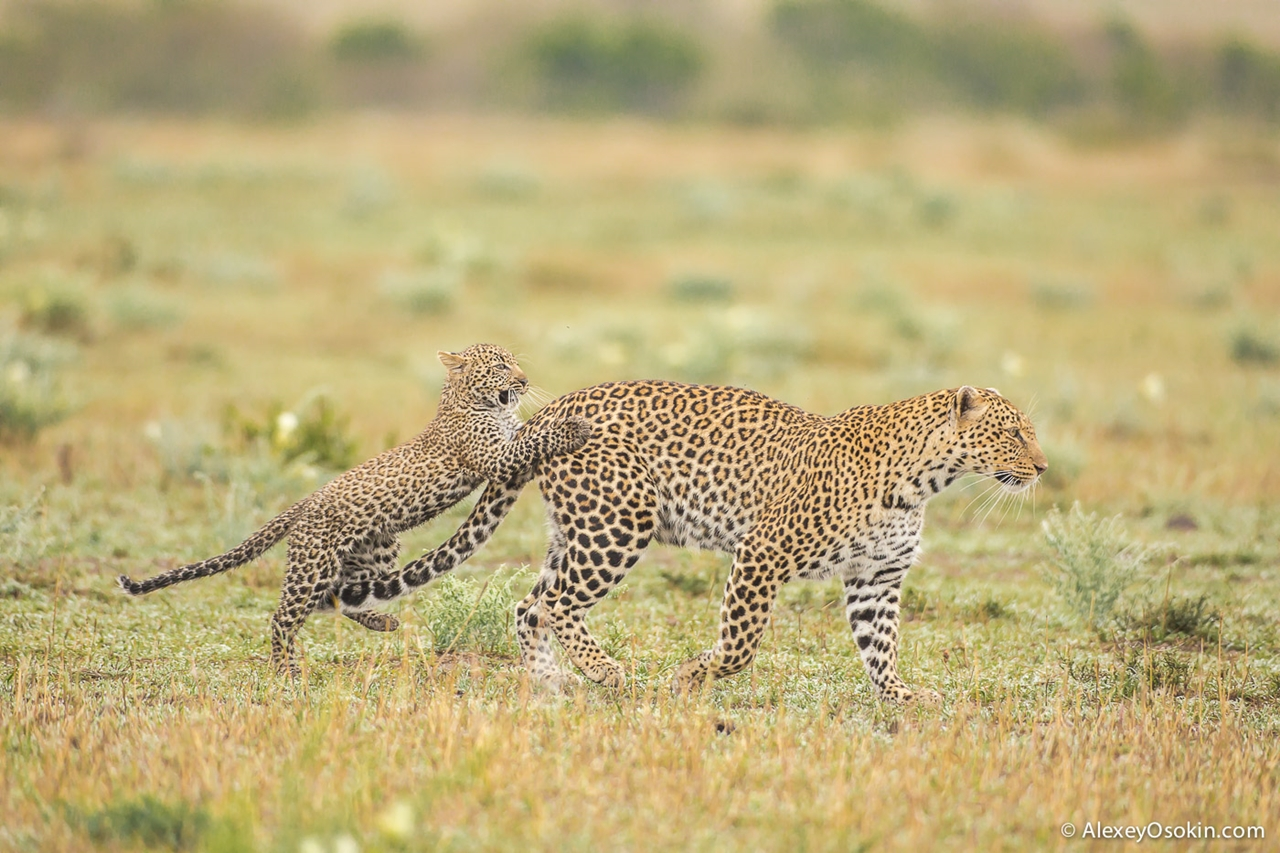 Leopard Poly 08