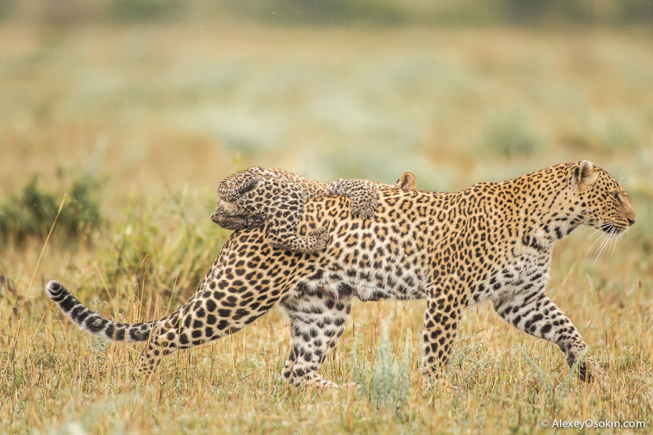 Leopard Poly 11