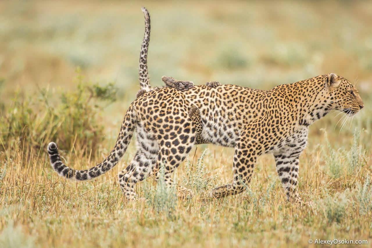 Leopard Poly 12