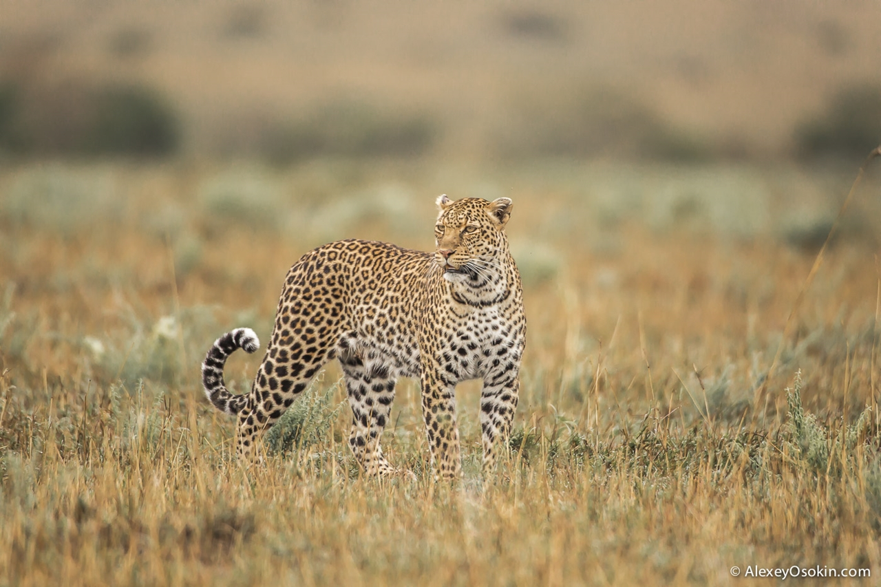 Leopard Poly 15