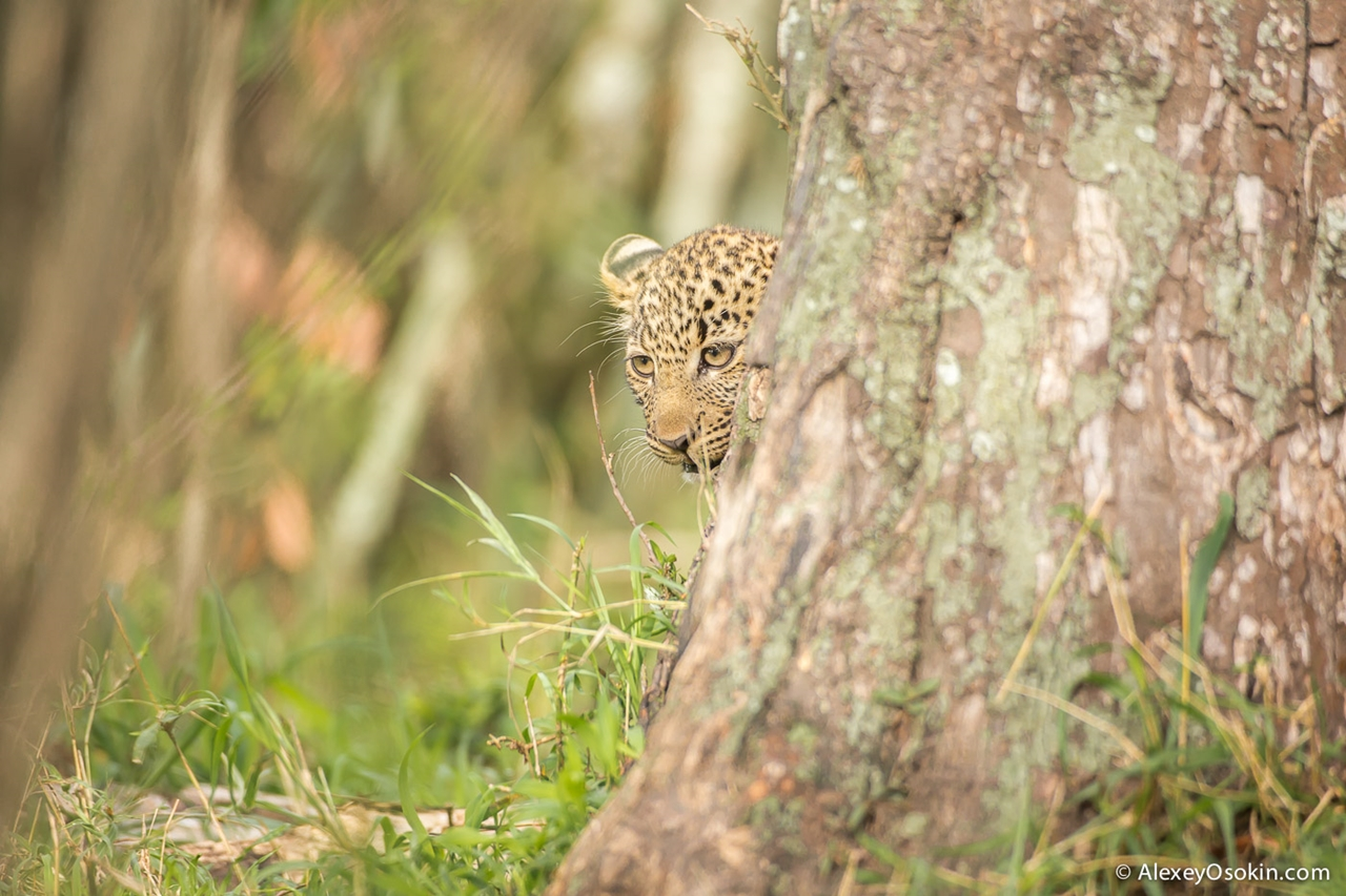 Leopard Poly 20