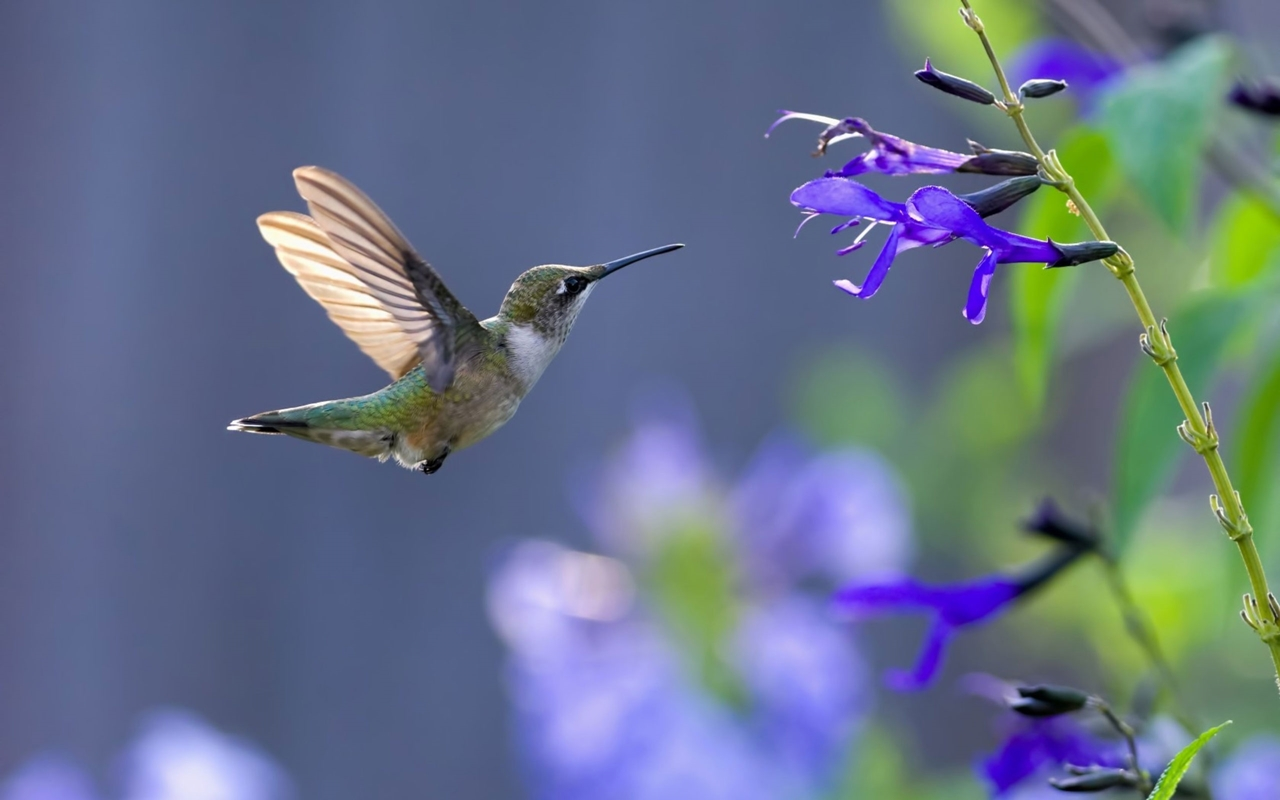 Photos of Hummingbird 10