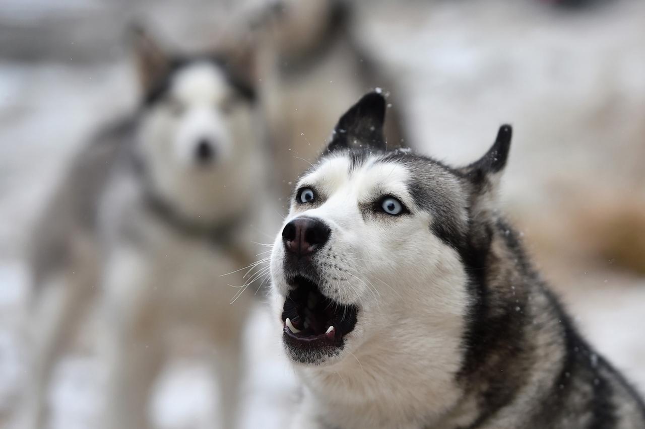 Гонка на собачьих упряжках Авимора