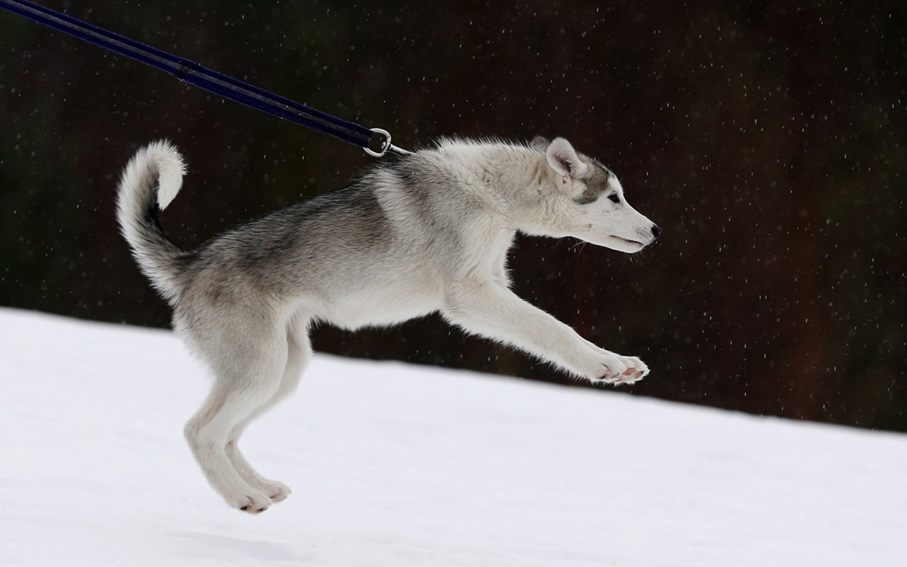 Sled dog race in Aviemore 02