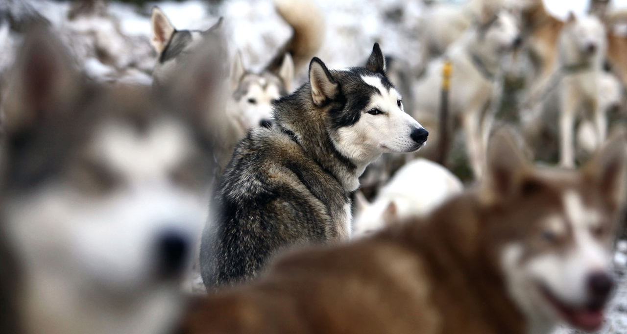 Sled dog race in Aviemore 03