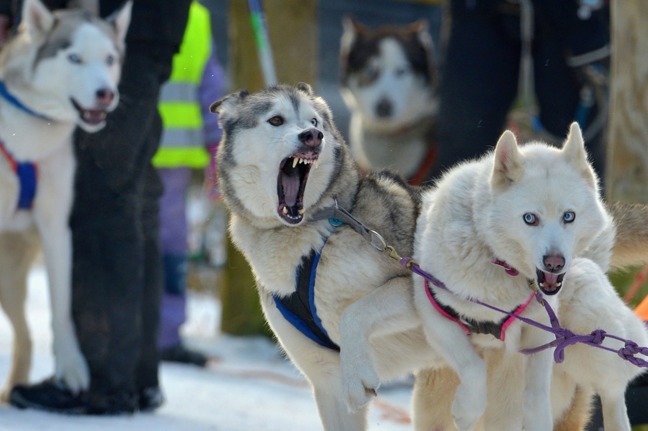 Sled dog race in Aviemore 05