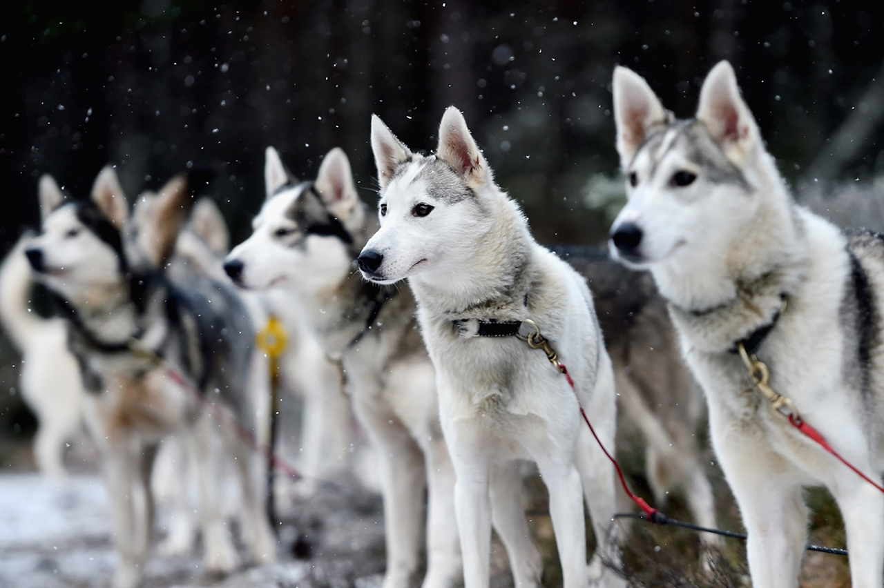 Sled dog race in Aviemore 15