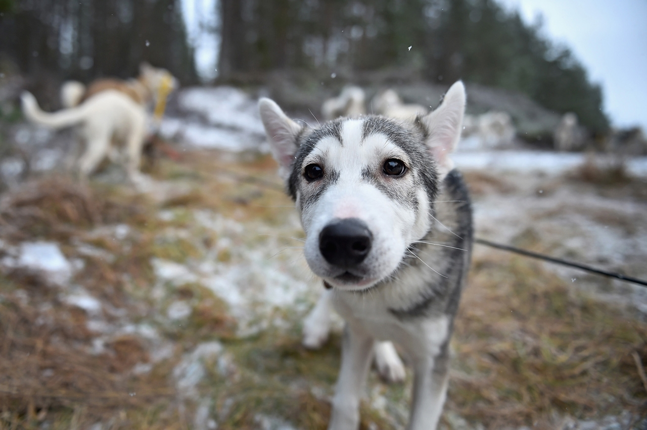 Sled dog race in Aviemore 19