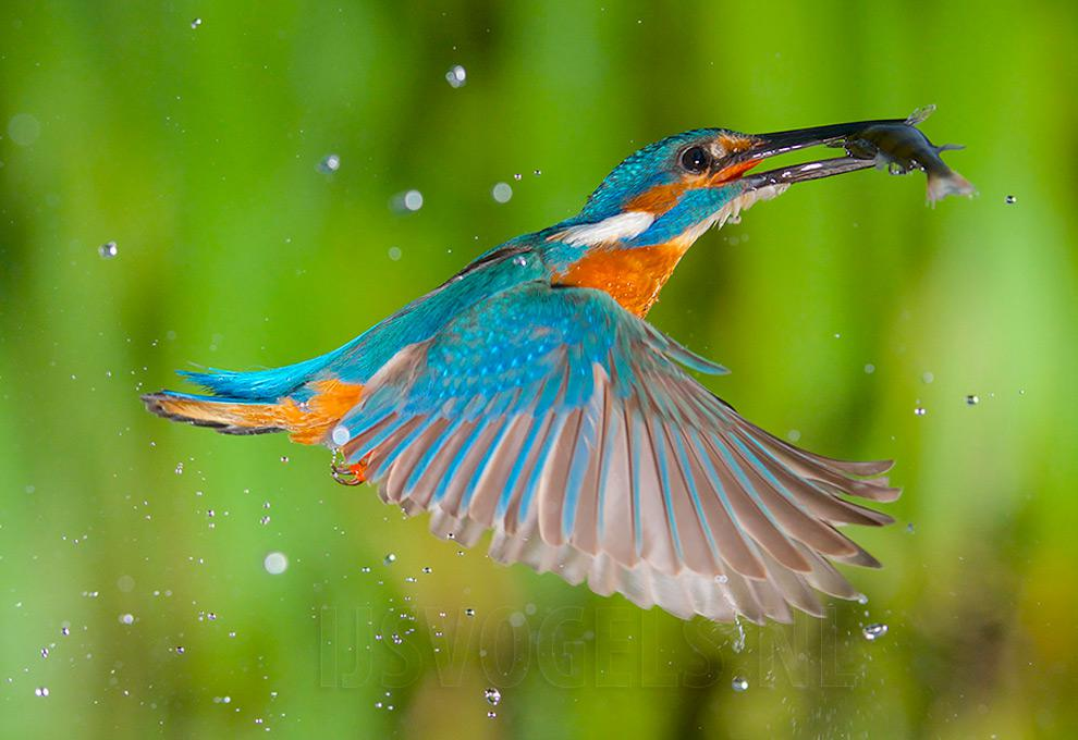Stunning footage of catching fish by Kingfisher 01