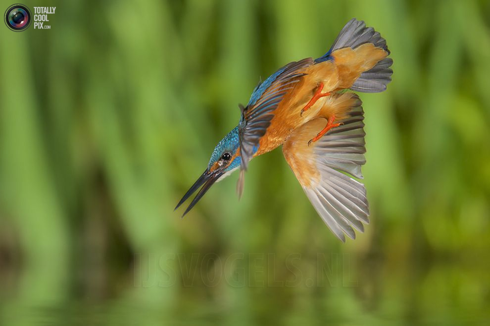 Stunning footage of catching fish by Kingfisher 06
