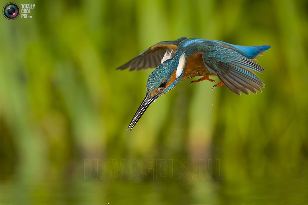 Stunning footage of catching fish by Kingfisher 08