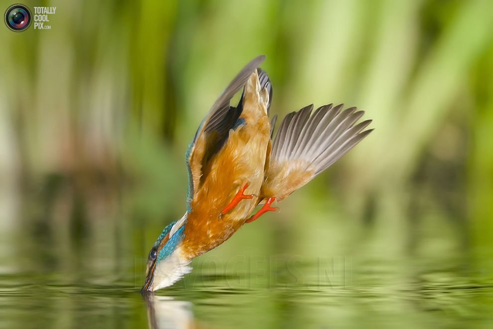 Stunning footage of catching fish by Kingfisher 09